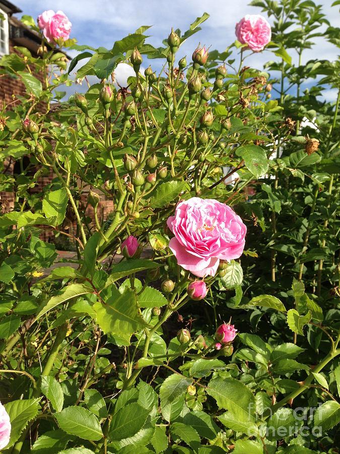 I Never Promised You A Rose Garden Photograph By Sharmila Bakshi