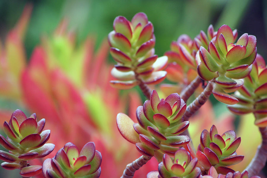 California Red Tip Crassula Ovata Jade Plant Photograph
