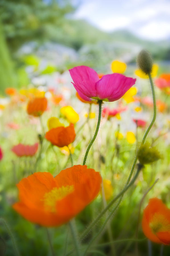 Flower Photograph - Iceland Poppies by Silke Magino