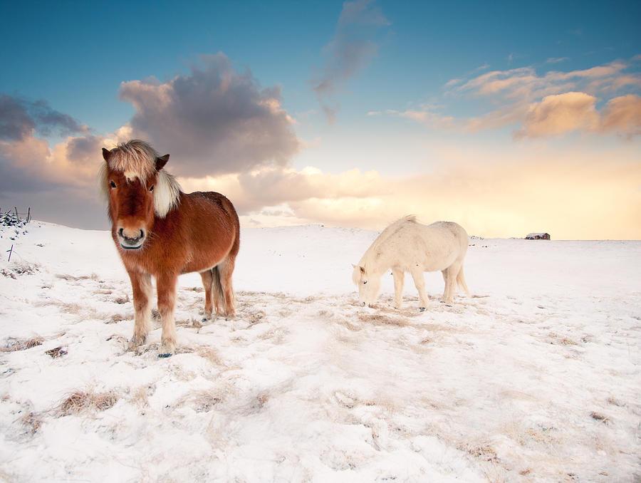 Horizontal Photograph - Icelandic Horses On Winter Day by Ingólfur Bjargmundsson