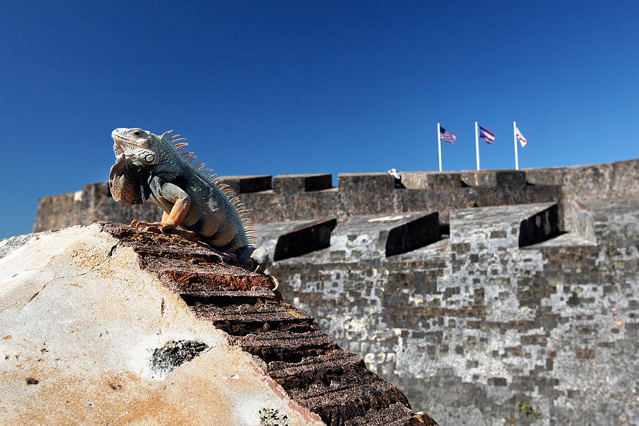 Animal Photograph - Iguana Basking On The Wall Of The San Cristobal Fort San Juan Puerto Rico. by George Oze
