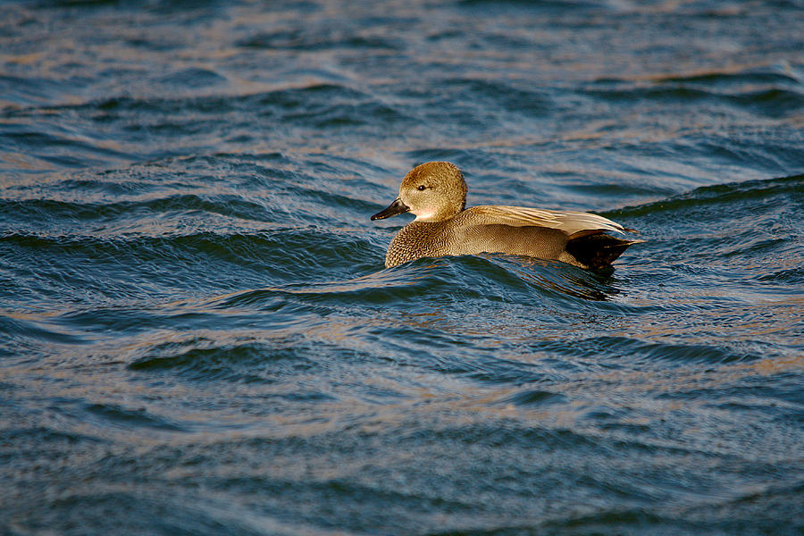 Immature Gadwall Duck Floating In Rough Water is a photograph by Roy ...