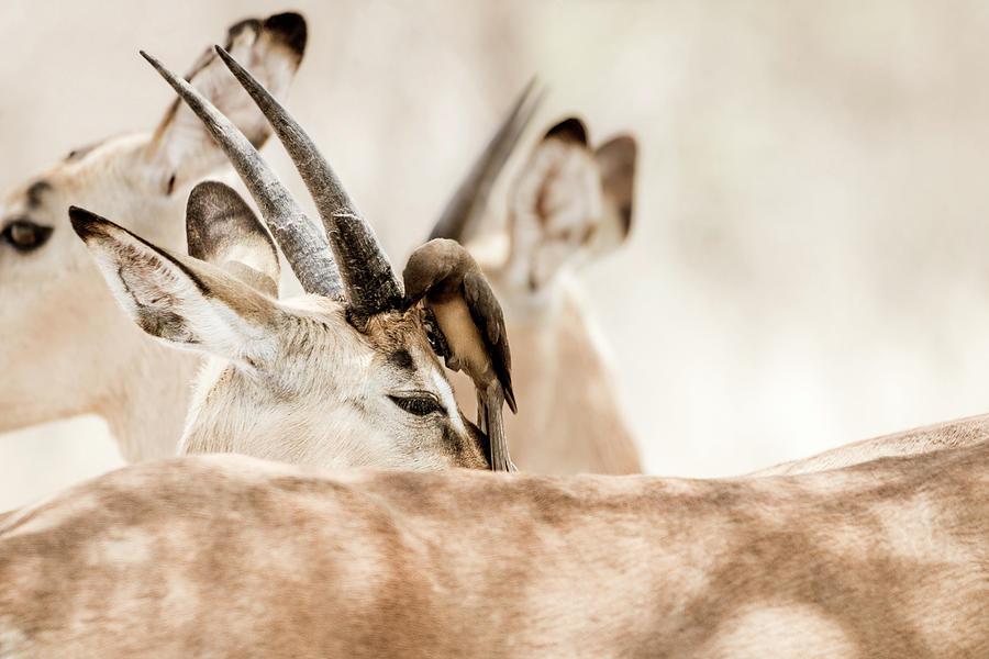 Impala And Oxpecker Photograph