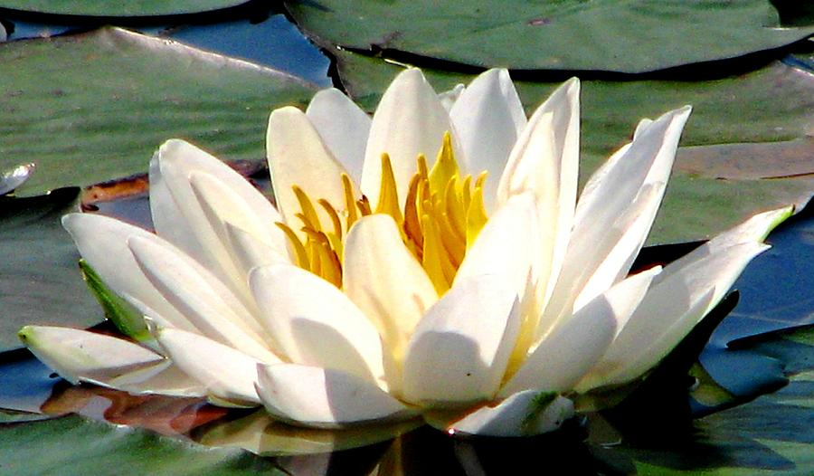 Water Lily Photograph - In Bliss by Angela Davies