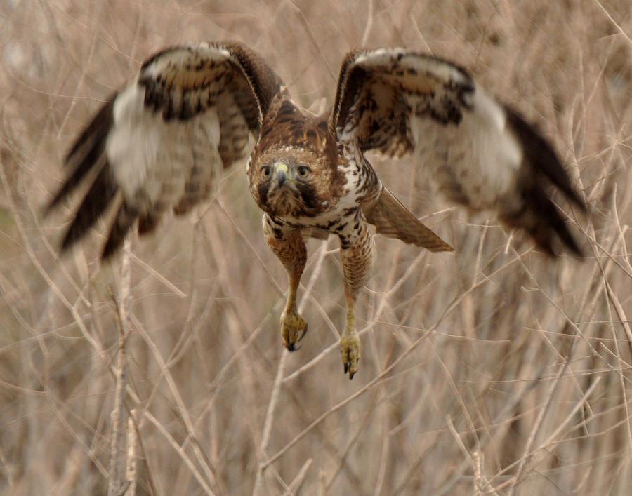 Hawk Photograph - Inbound Red Tail Hawk by Matt MacMillan