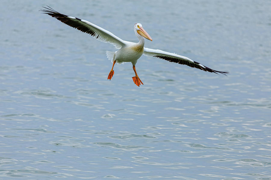 Incoming Pelican Photograph