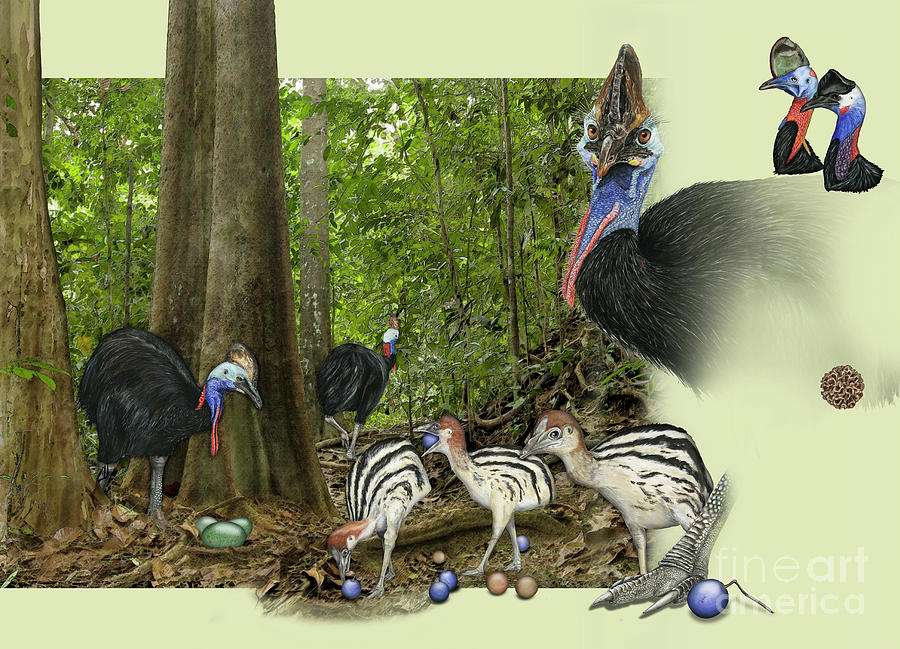 Zoo Nature Interpretation Panel Cassowaries Blue Quandong Painting