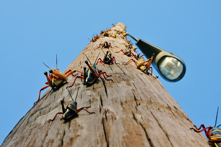 Grasshoppers Photograph - Invasion Of The Lubbers by Lynda Dawson-Youngclaus