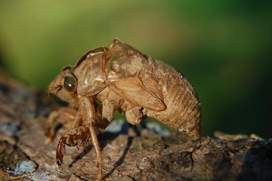 Cicada Photograph - Iowa Cicada by Jame Hayes