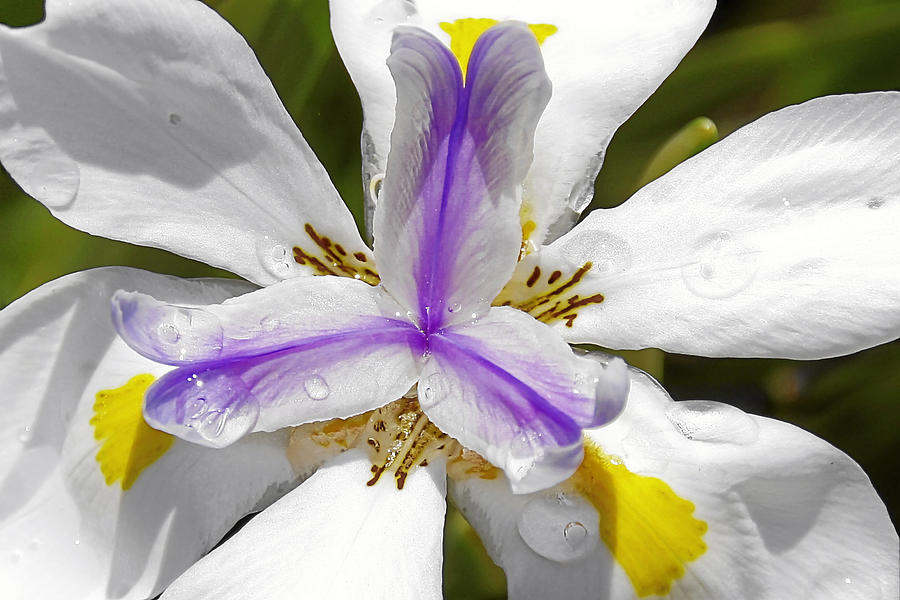 Flower Photograph - Iris An Explosion Of Friendly Colors by Christine Till