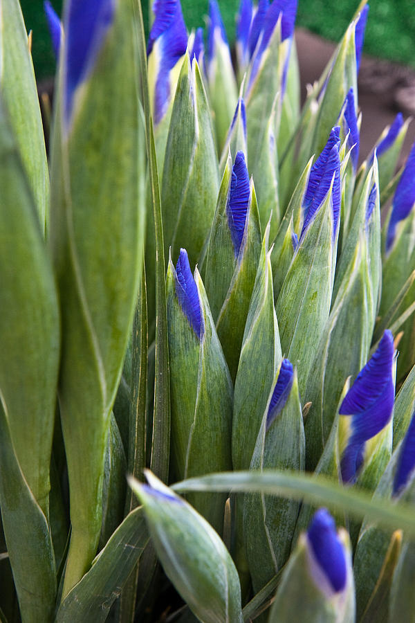 Farmers Market Photograph - Iris Buds by Dina Calvarese