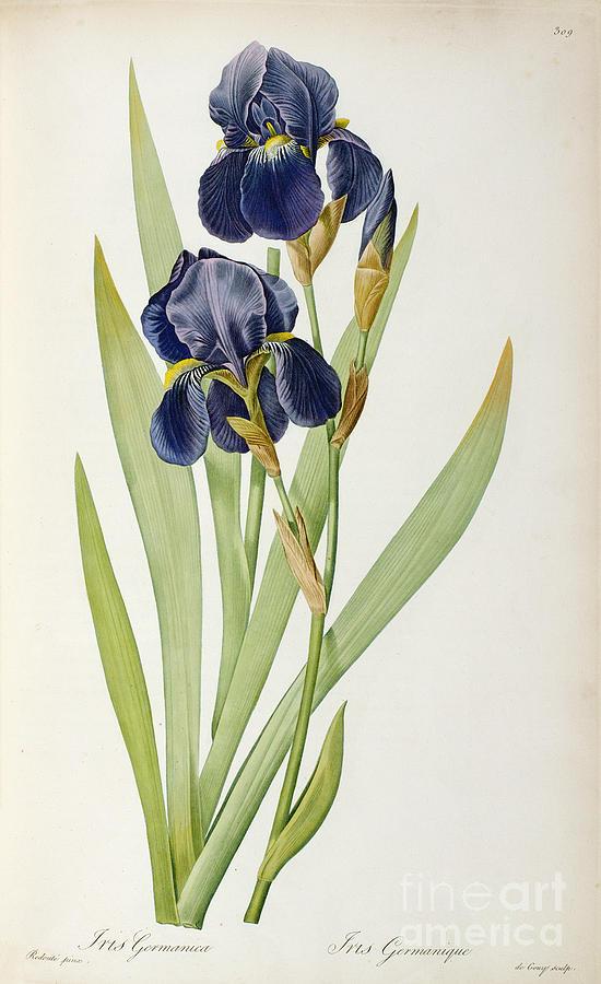 Iris Painting - Iris Germanica by Pierre Joseph Redoute