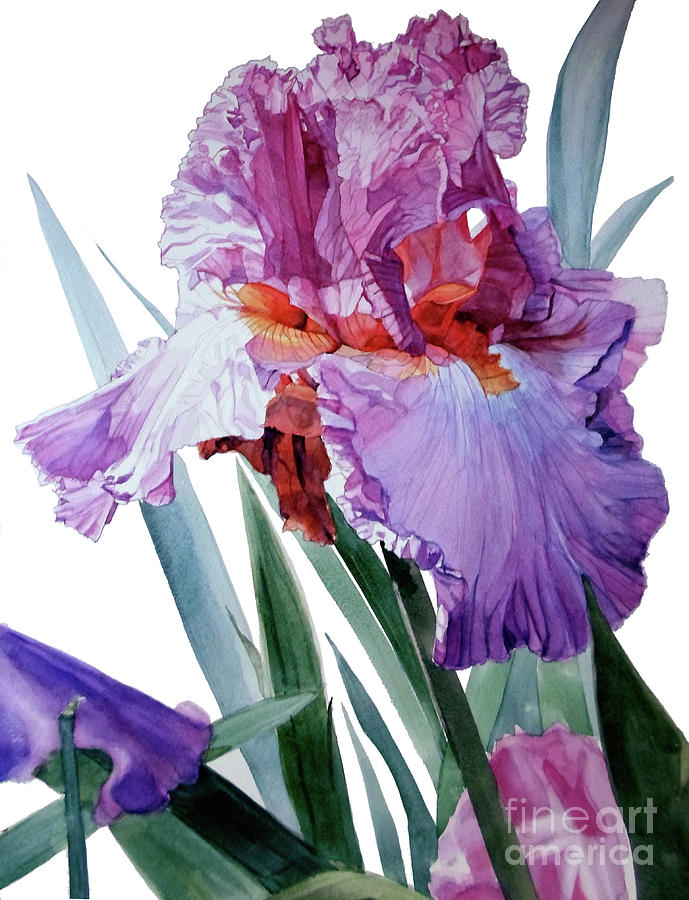 Watercolor Of A Tall Bearded Iris In Pink, Lilac And Red I Call Iris Pavarotti Painting