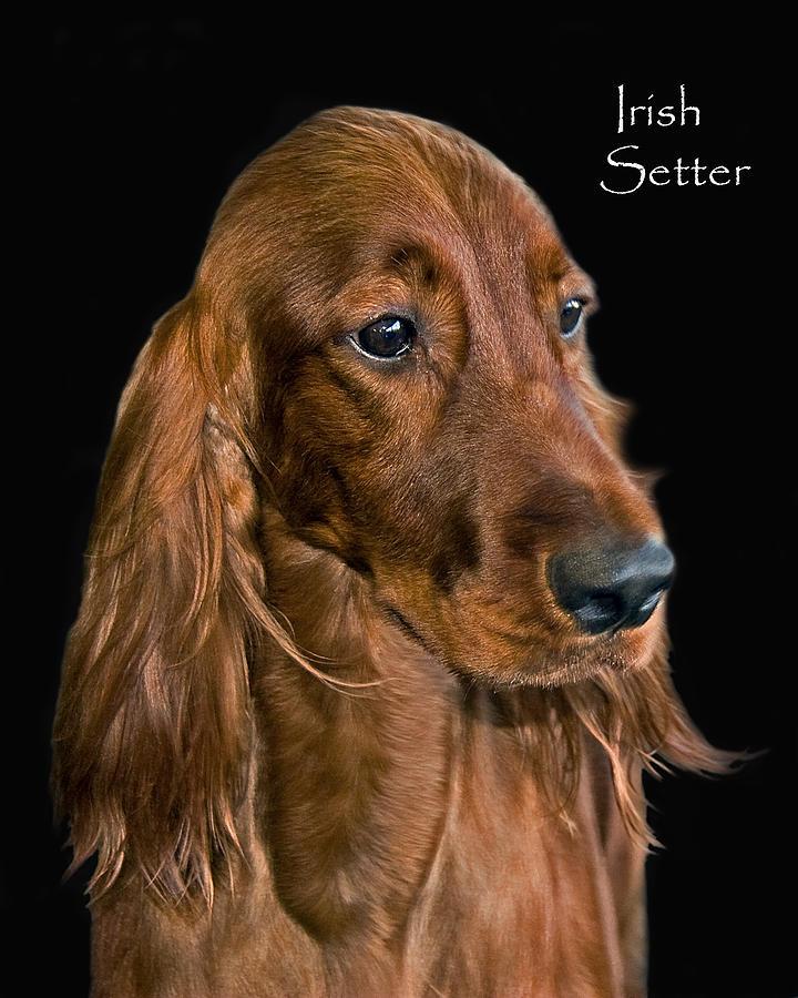 Irish Setter Photograph - Irish Setter by Larry Linton