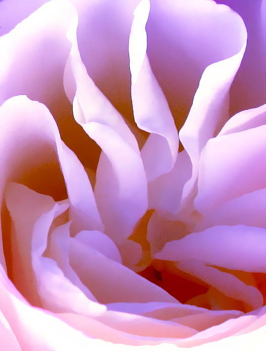 Photograph Of Rose Photograph - Jack by Gwyn Newcombe