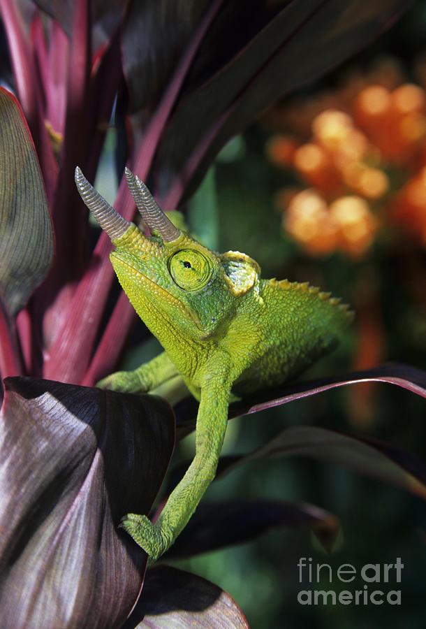 Animal Photograph - Jacksons Chameleon On Leaf by Dave Fleetham - Printscapes