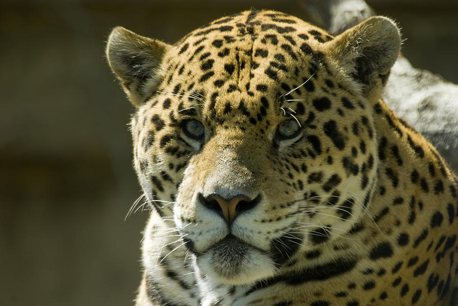 Animal Photograph - Jaguar by Mary Lane