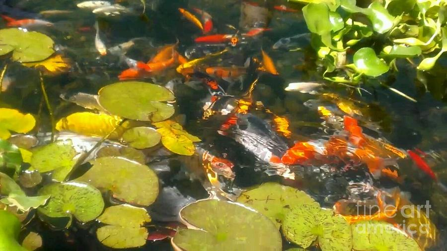 Japanese Koi Pond By Lkb Art And Photography