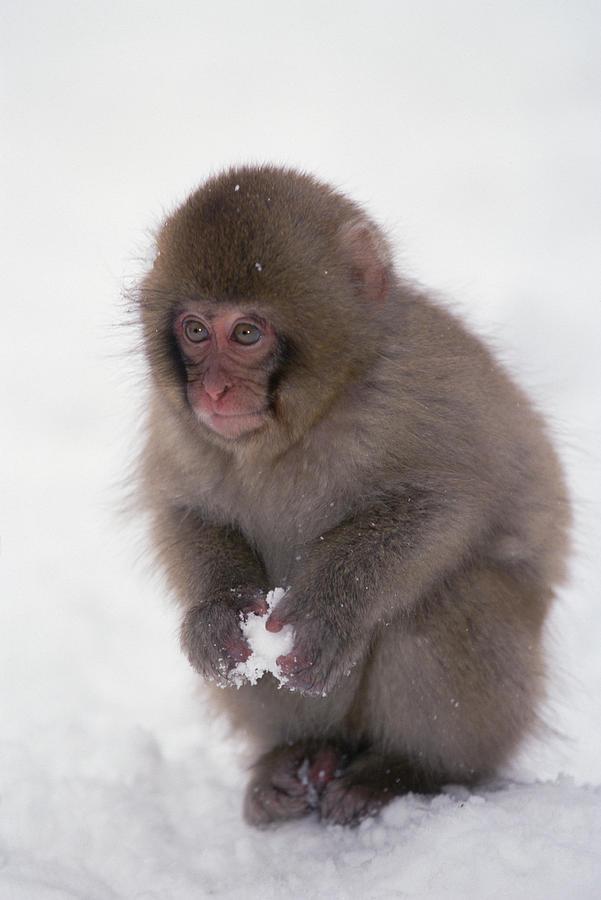 Mp Photograph - Japanese Macaque Macaca Fuscata Baby by Konrad Wothe