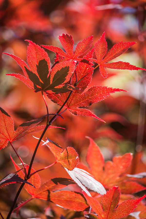 Japanese Maple Photograph