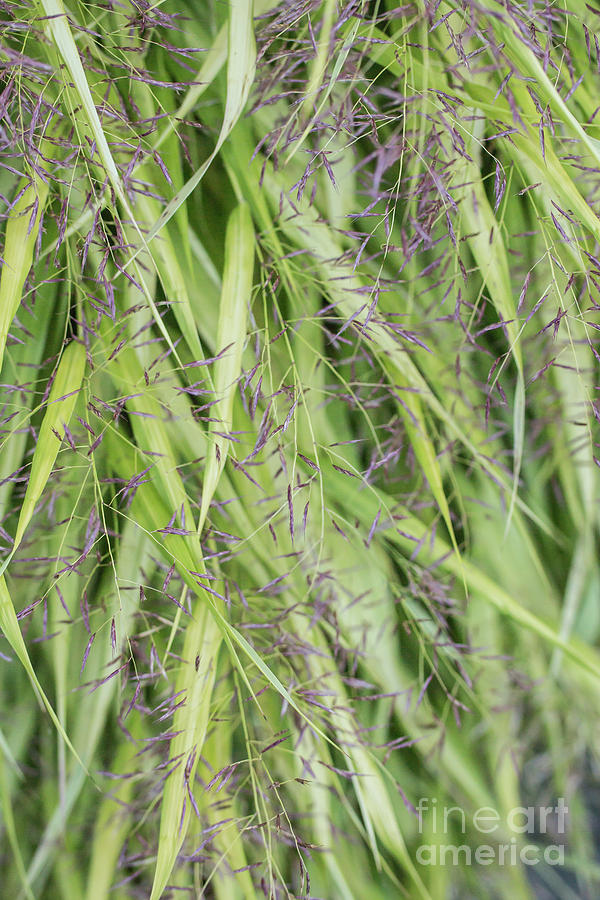 Japanese ornamental grass photograph by mika sato for Tall oriental grass