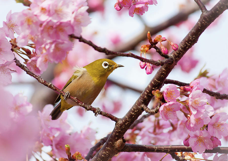 Horizontal Photograph - Japanese White-eye On Cherry Blossoms by David A. LaSpina