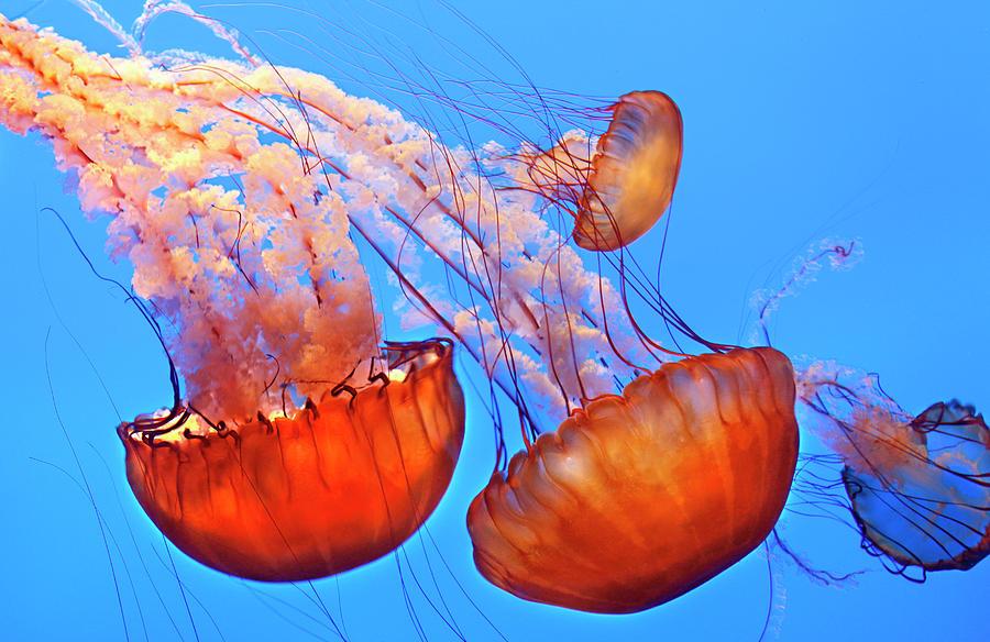 Horizontal Photograph - Jelly Fish by Jill Buschlen