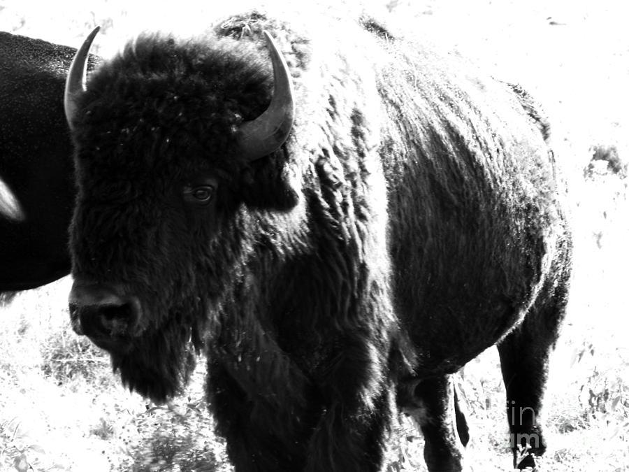 Buffalo Photograph - Join The Party by Amanda Barcon