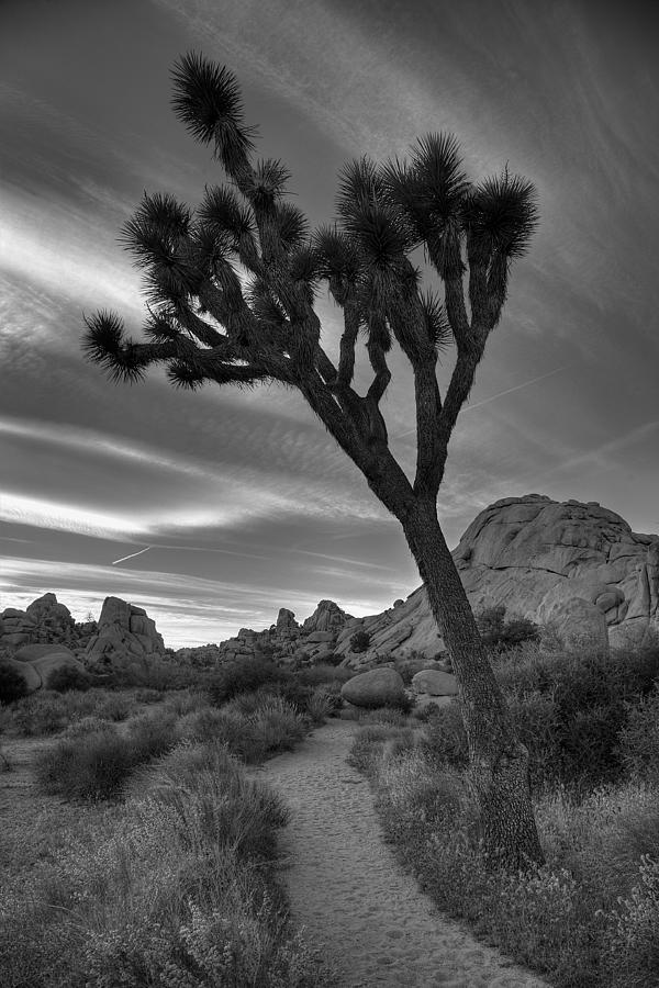 California Photograph - Joshua Tree Path by Peter Tellone
