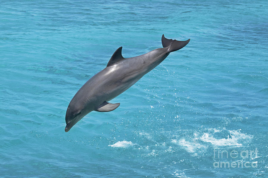 Jumping Bottlenose Dolphin Photograph by Dave Fleetham ...