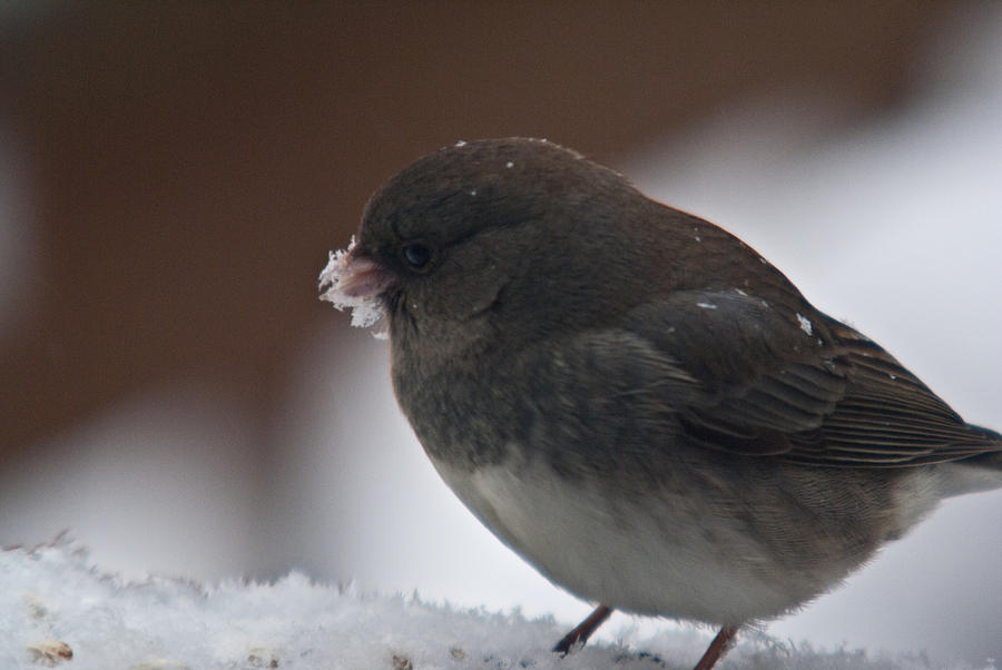 Junco In Snow Photograph