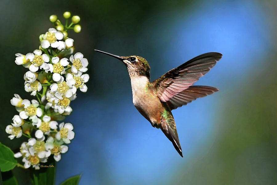 Hummingbird Photograph - Just Looking by Christina Rollo