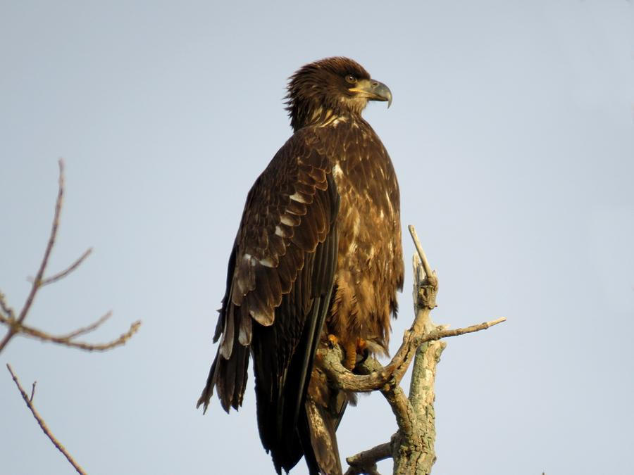 Juvenile Bald Eagle 1 Photograph