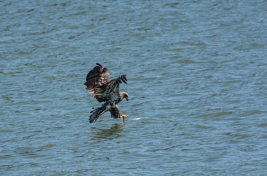Juvenile Eagle Fishing Pickwick Lake Tennessee 031620161312 Photograph
