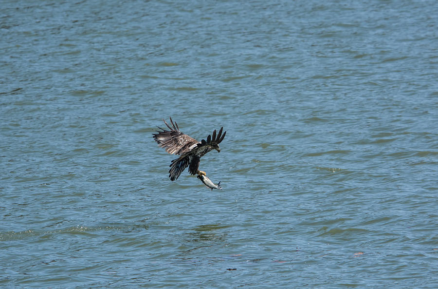 Juvenile Eagle Fishing Pickwick Lake Tennessee 031620161318 Photograph