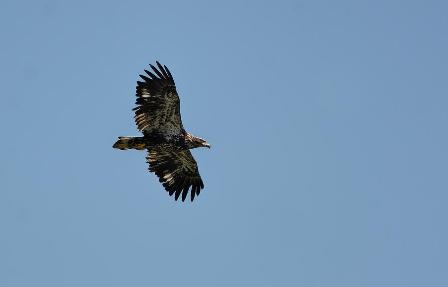 Juvenile Eagle Flying Over Pickwick Lake Tennessee 031620161269 Photograph