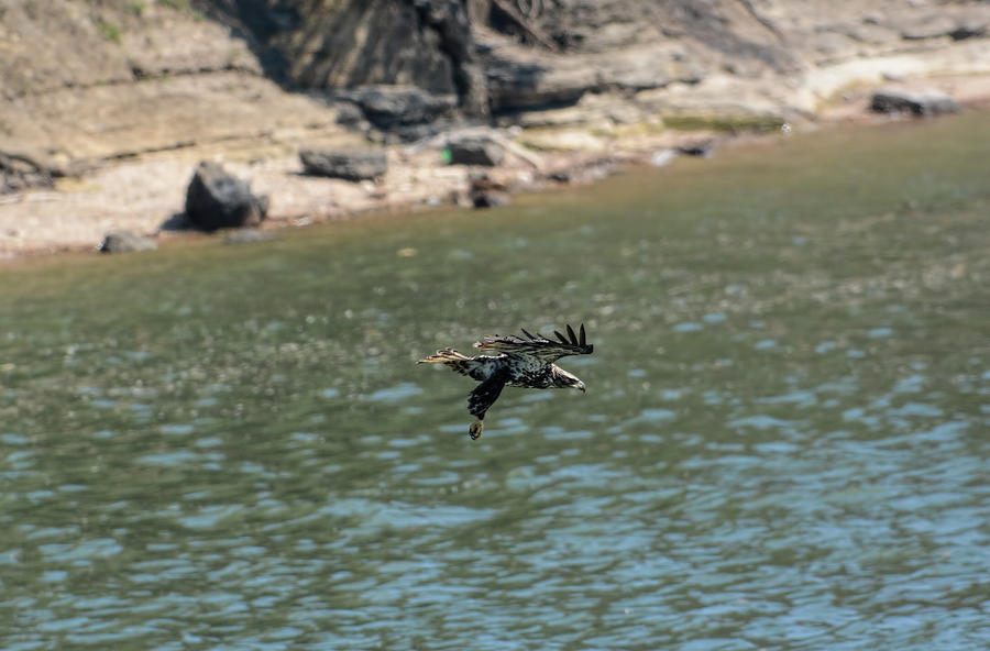 Juvenile Eagle Going Fishing Pickwick Lake Tennessee 031620161304 Photograph