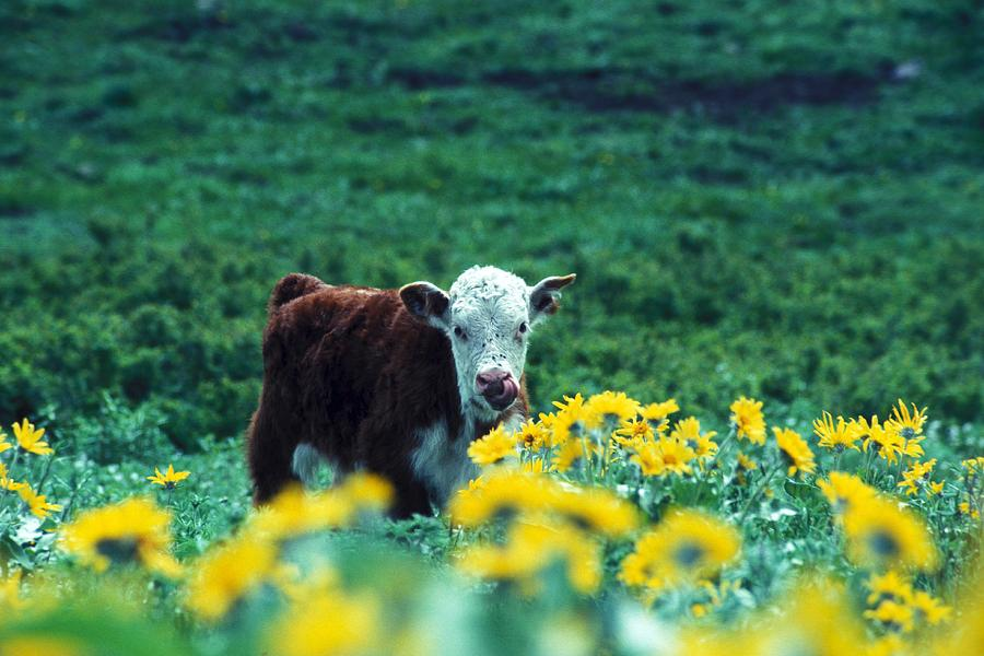 Okanogan Photograph - Juvenile White-faced Hereford by Paul Nicklen