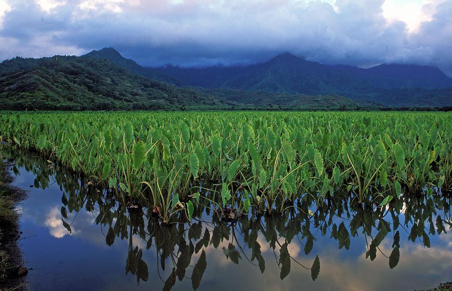 Hawaii Photograph - Kauai Taro Field by Kathy Yates