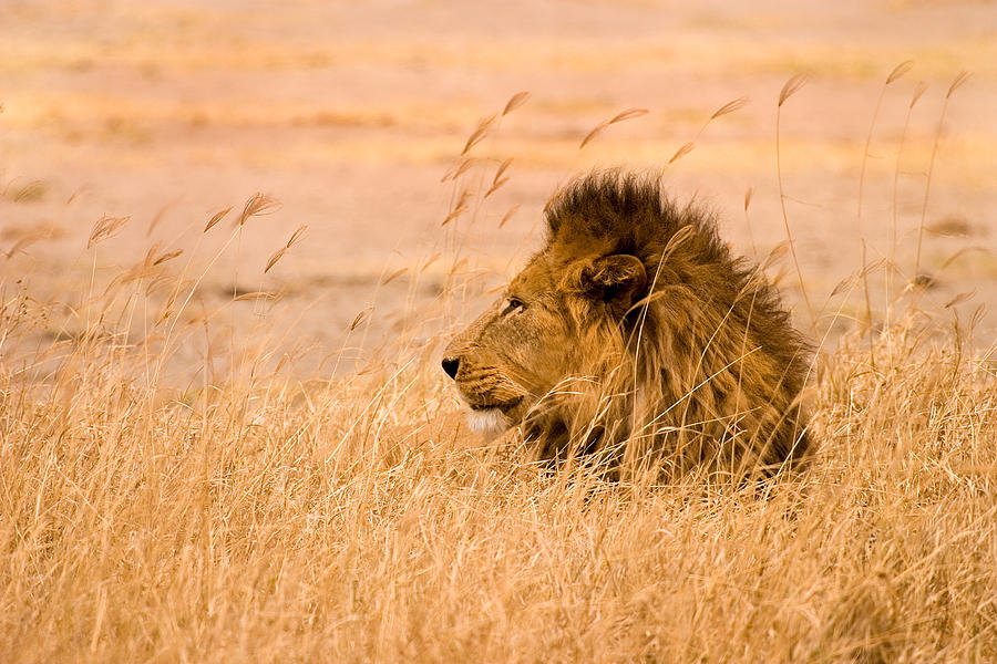 3scape Photos Photograph - King Of The Pride by Adam Romanowicz