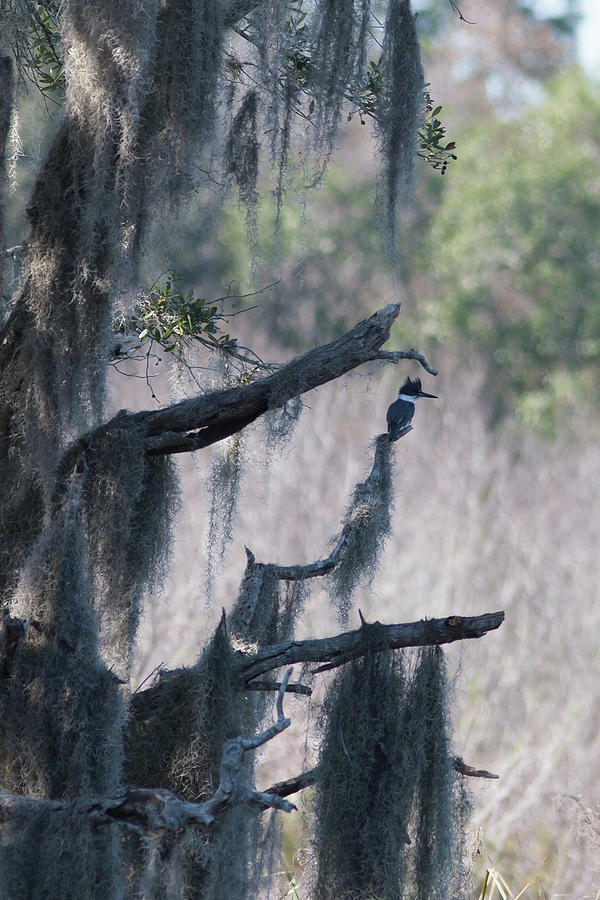 Kingfisher And Spanish Moss Photograph