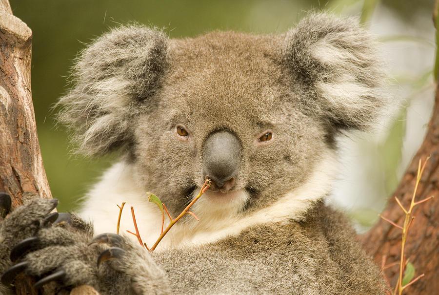 Koala Photograph - Koala Snack by Mike  Dawson