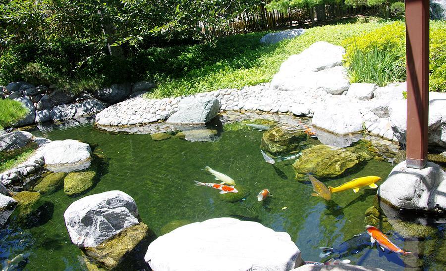 Koi pond 11 japanese friendship garden photograph by for Japanese garden koi