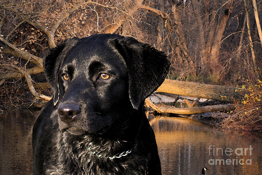 Black Photograph - Labrador Retriever by Cathy  Beharriell