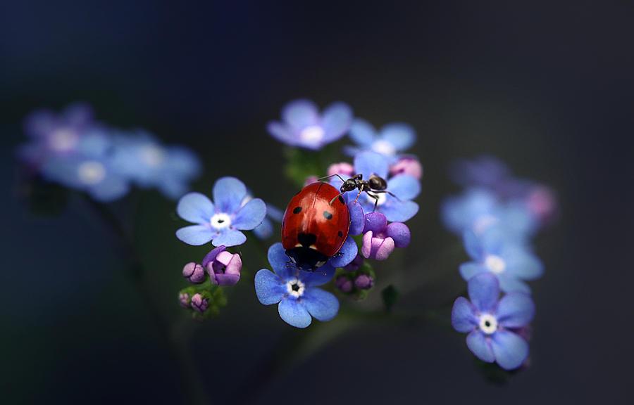 Horizontal Photograph - Ladybird And Ant by Ellen van Deelen