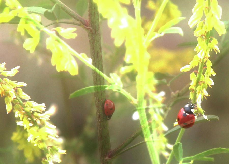 Ladybug Photograph - Ladybug Ladybug by Toni Hopper