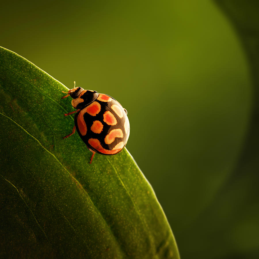 Ladybug  On Green Leaf Photograph
