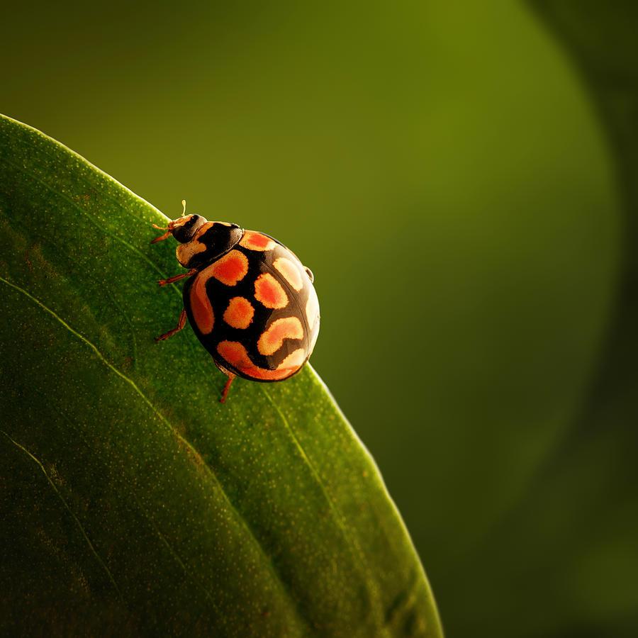 Ladybug  On Green Leaf Photograph