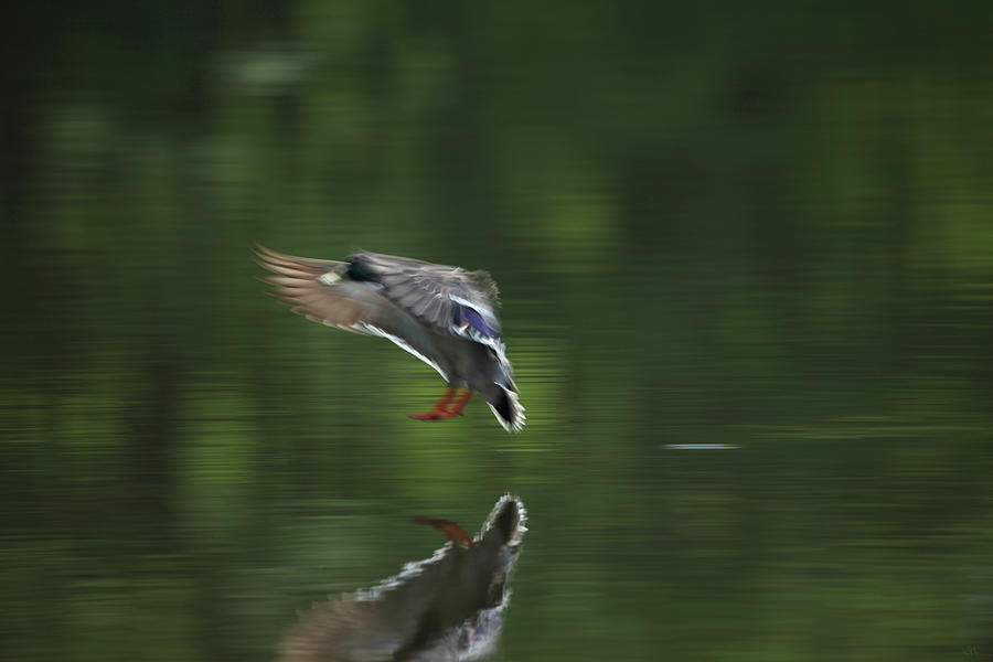 Mallard Photograph - Landing by Karol Livote
