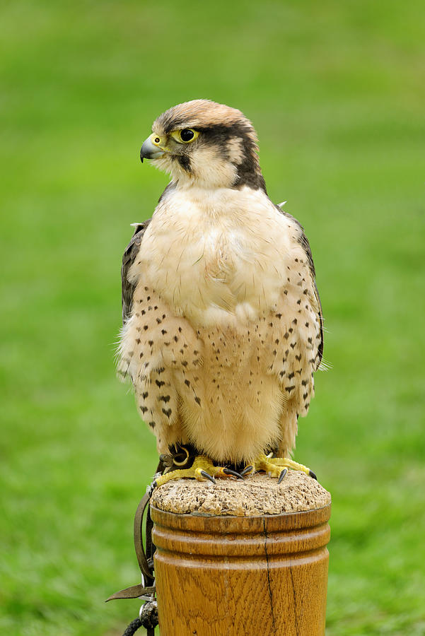Lanna Falcon  - Falco Biarmicus Photograph